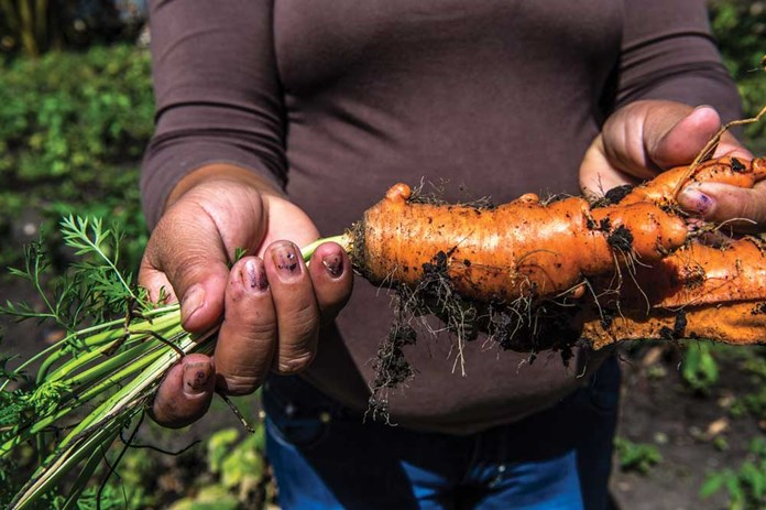 Carrots being harvested as part of CEPAD's training – to teach people new recipes and ways of cooking with new vegetables and fruits.