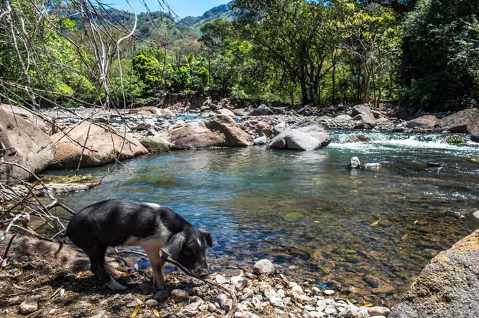 A small lake in rural Nicaragua with a black pig in the foreground.